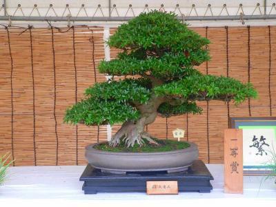 写真キャプション=取材の前に決勝大会のあった阪神尼崎駅前で開催されていた「さつき盆栽展」を見に行ってしまった