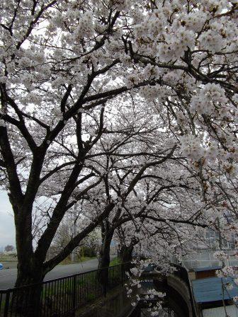 咳の上の桜