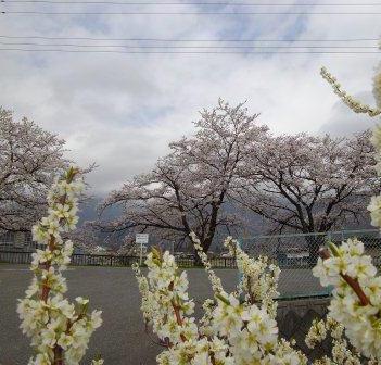 桜とスモモ