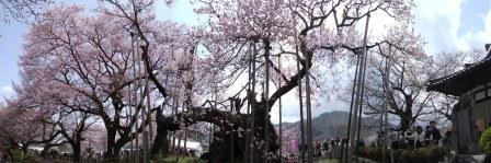 神代桜6パノラマ