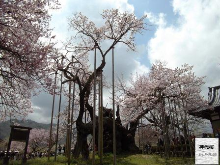 神代桜8名前いり