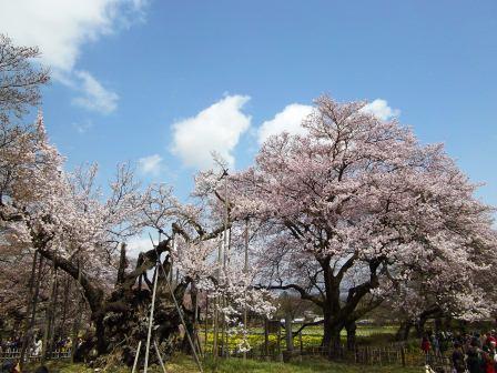 神代桜10子桜