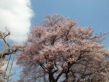 神代桜9子桜