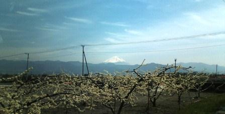 富士山とスモモ畑