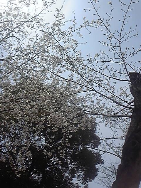 区役所近くの桜1