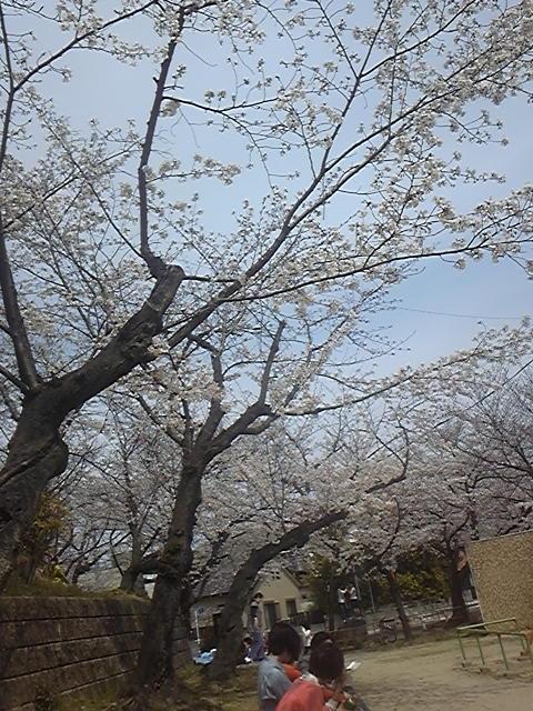 区役所近くの桜2