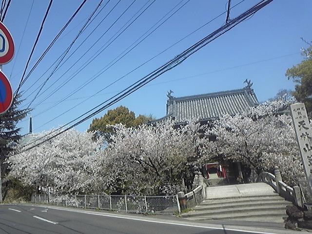 区役所近くの桜3