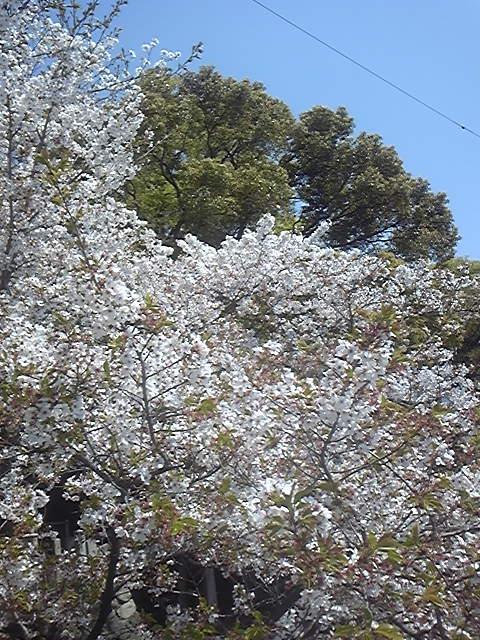 区役所近くの桜4