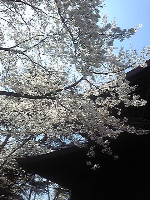 区役所近くの桜5
