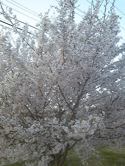 駐車場の可愛らしい桜