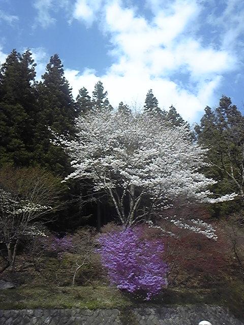 桜とミツバツツジの競演