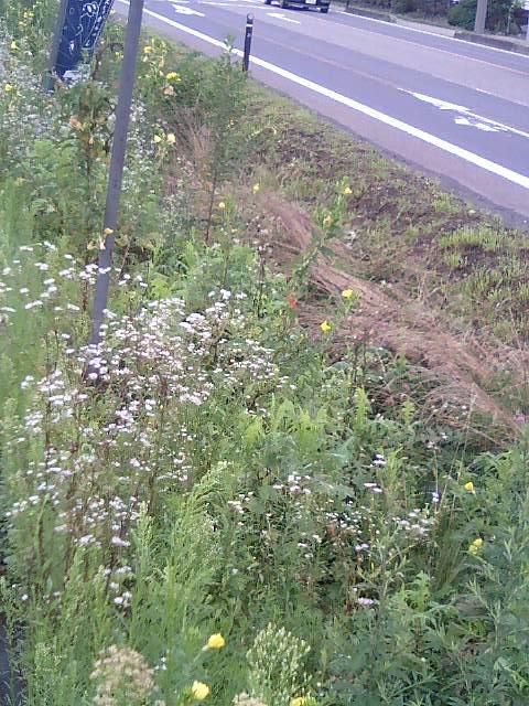 道端の雑草2 ハルジオン