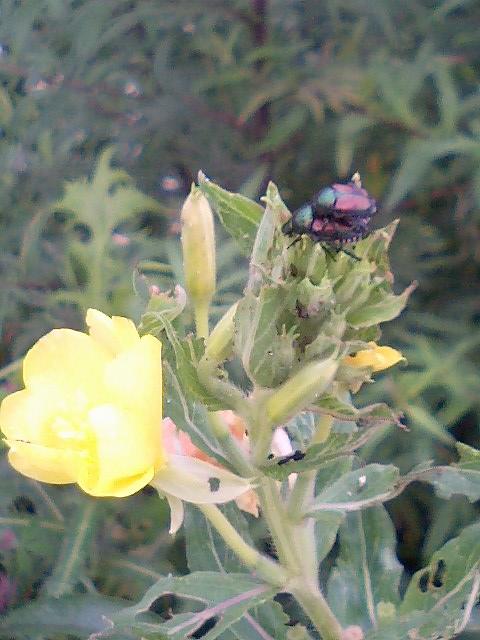 黄金虫の交尾2