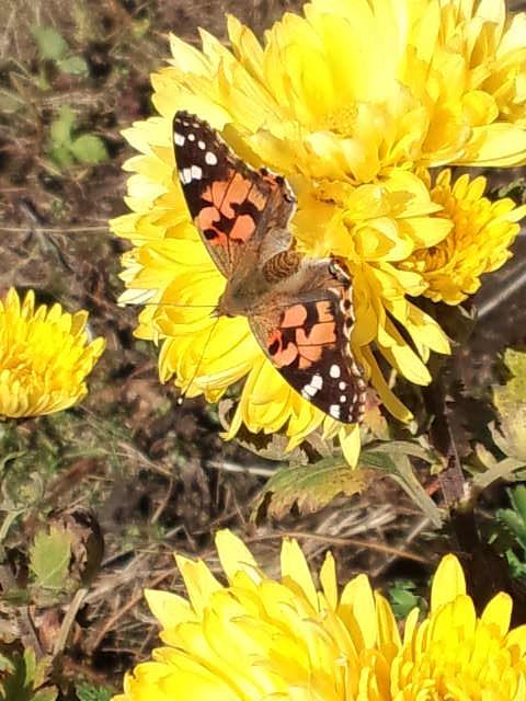 枯葉のように舞う冬の蝶1
