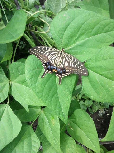 枯葉のように舞う冬の蝶2