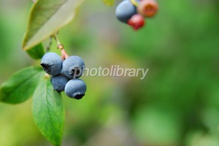 1517066 木になるブルーベリー