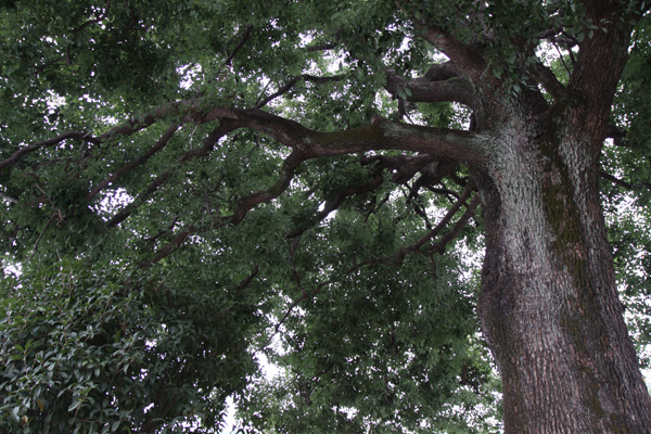 樟(くすのき)の大木
