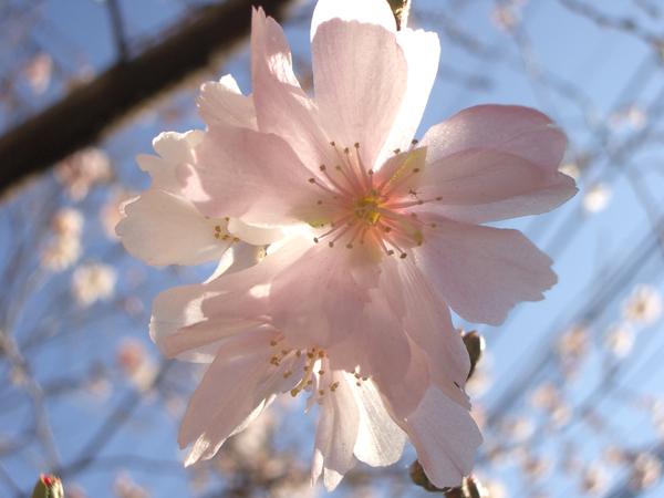 冬桜アップ2