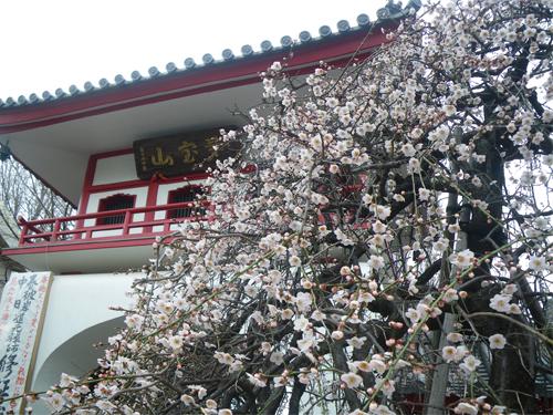 山門と枝垂れ梅