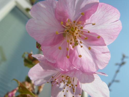 桜1号アップ