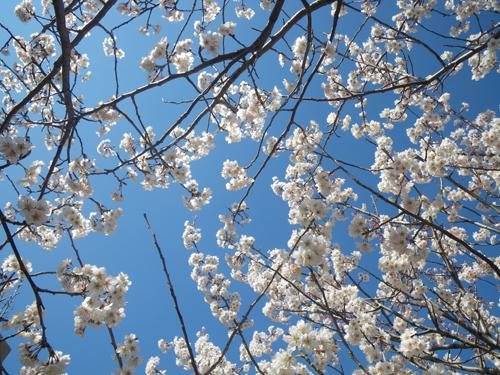 桜と青空の天井