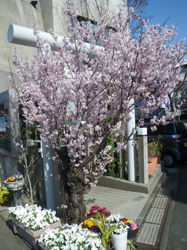 みのむしの桜