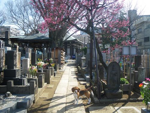 墓地とウィルと紅梅