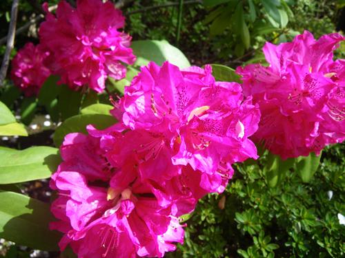石楠花咲く