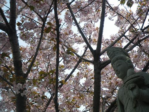 観音様と桜