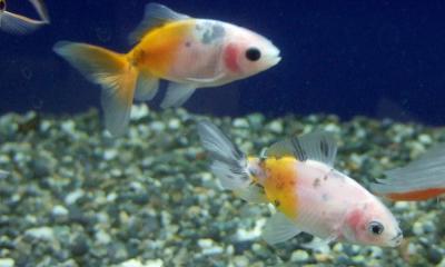 オーロラ(金魚)
