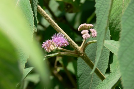 ビロードムラサキ ( 天鵞絨紫 )